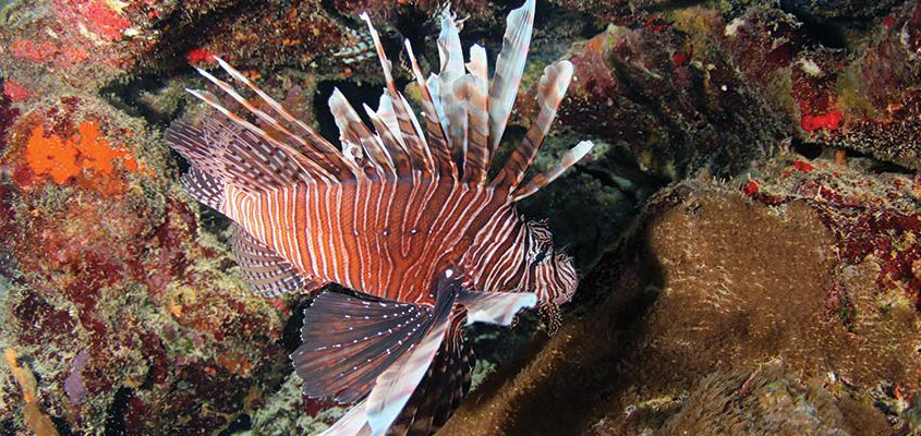 lionfish snorkeling curacao